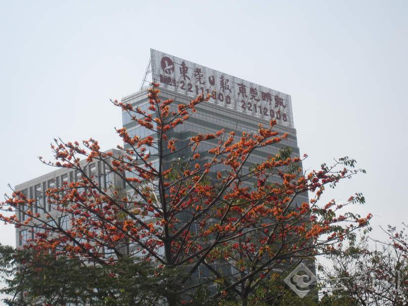 东莞街头的木棉花.云南网记者