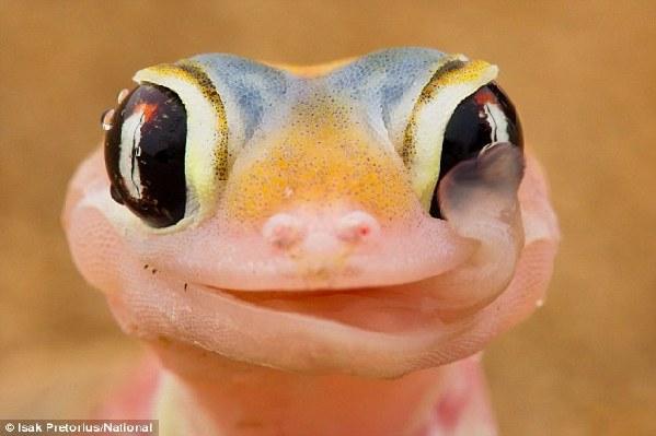 照片中的可爱小壁虎伸出舌头从它的眼睛上舔食着清晨的露珠.