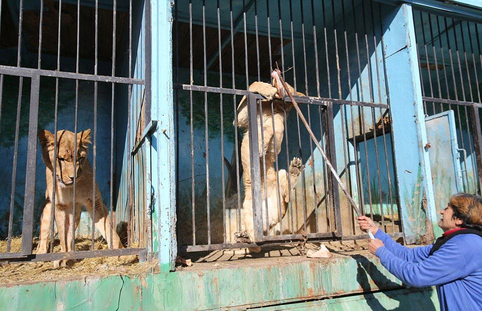 世界上最悲伤的动物园:狮子大熊以屠宰场残渣维生